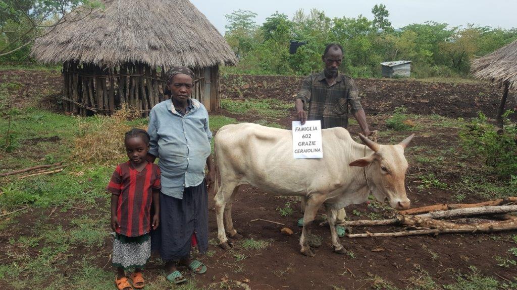 Mucche in comodato 602